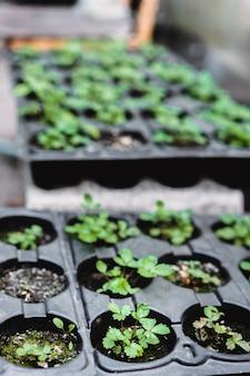 生態学の概念。豊かな土壌から苗が育っています。小さな被写界深度。野菜農場で保育園のプラスチック製のトレイで若い植物。