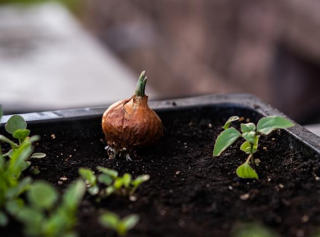 生態学の概念。豊かな土壌から苗が育っています。野菜農場で保育園のプラスチック製のトレイで若い植物。クローズアップビュー