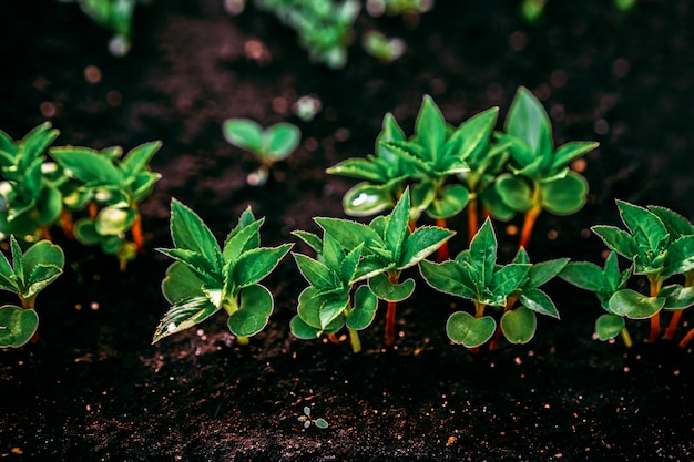 生態学の概念。豊かな土壌から苗が育っています。野菜農場で保育園のプラスチック製のトレイで若い植物。