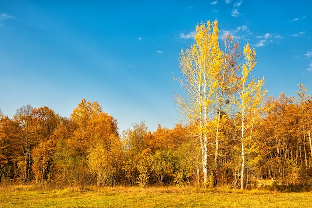 The edge of the forest with birch trees in autumn