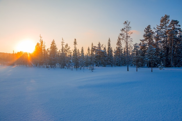Edge of a small forest. the bright sunset shines through the branches of the fir trees