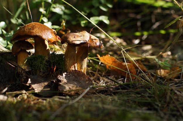 秋の森には、明るいキノコが立っています。