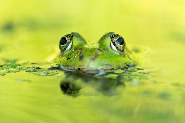 아름다운 호수에서 식용 개구리 (pelophylax esculentus)