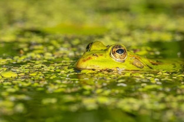 美しい湖の食用カエル(pelophylax esculentus)