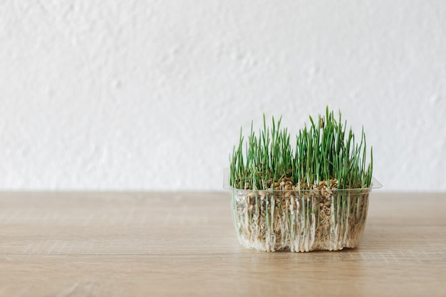 Edible grass for a cat on a wooden table