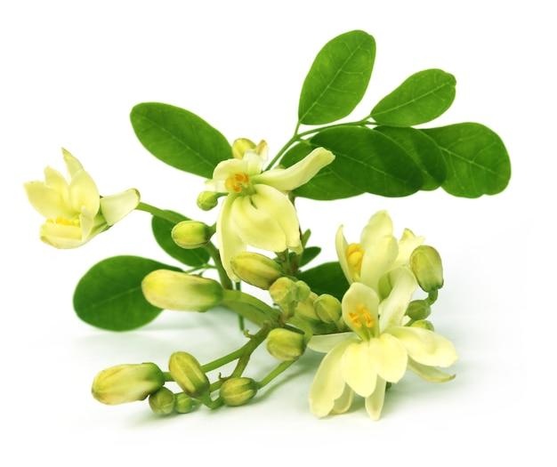 白いbackgrokund上の食用モリンガの花