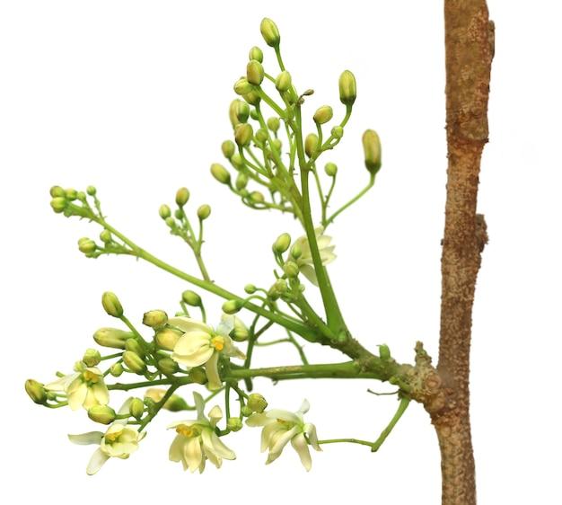 白い背景の上の食用モリンガの花