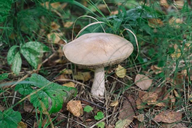 풀밭에 있는 식용 버섯은 선택적인 초점과 흐린 배경으로 닫힙니다.
