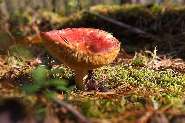 森で育つ食用キノコ