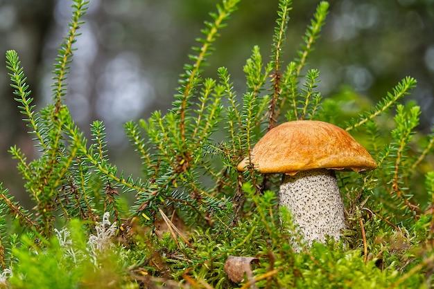 緑の苔で育つ食用オレンジキャップキノコ。 leccinumaurantiacum森でキノコを収穫する。ヨーロッパ北部の森林に生息する食用キノコ。