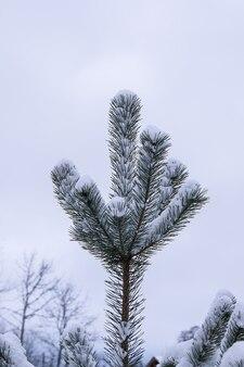 ウィンターパークの雪の中でeergreen松の木の枝