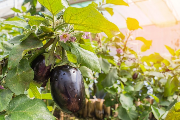 Egg plants on tree in greenhouse