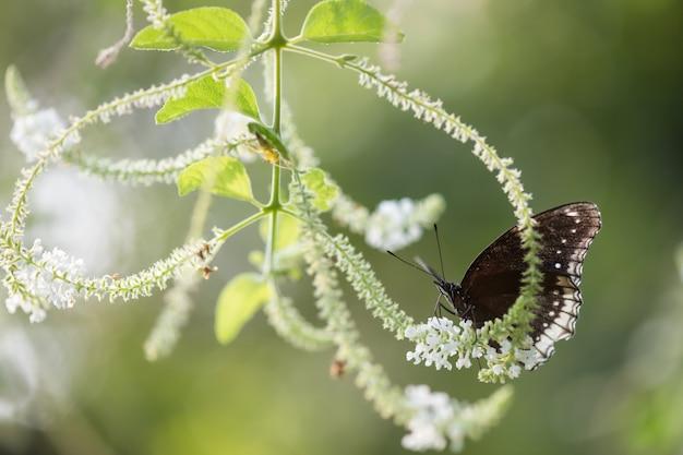花植物の卵の蝶