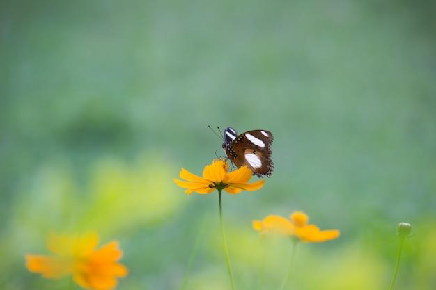 その自然の生息地で花に卵蝶