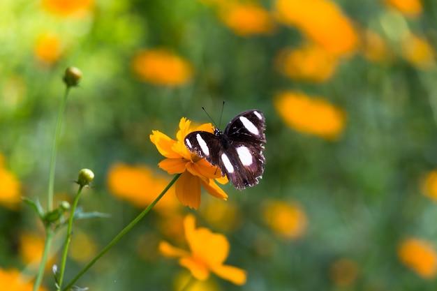 春の間に花の植物の上にホバリングして休むエッグフライバタフライr