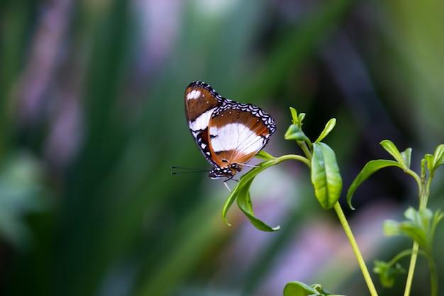 春の間に美しい緑の背景に翼を大きく開いたeggglybutterfly