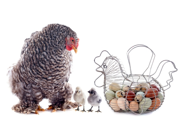Eggs basket, chicken and chick