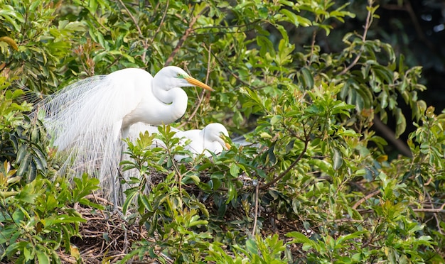 Цапля, красивое и огромное гнездо цапель в бразилии. выборочный фокус.