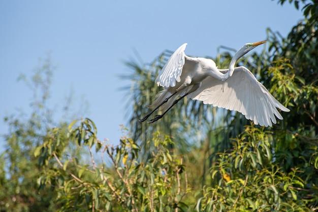 Egret, 브라질의 아름다운 왜가리의 우아한 비행. 선택적 초점입니다.