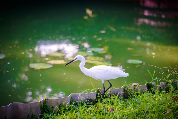 Egret hunting for fish