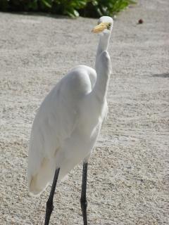 Egret, white
