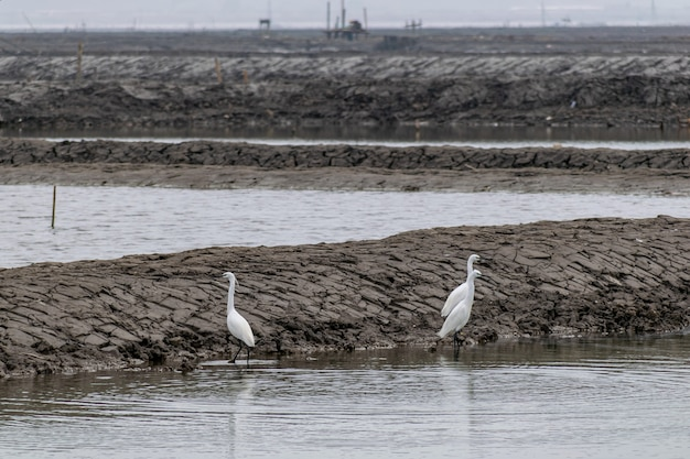 Egrets rest on the black beach
