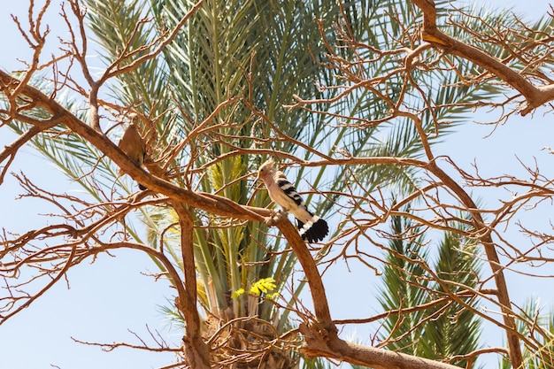 Egypt hoopoe in a tree in sunny day
