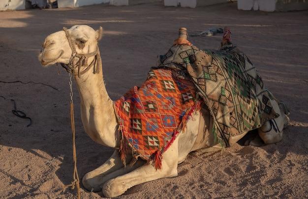 안장을 든 이집트 낙타가 사막의 모래 위에 놓여 있다