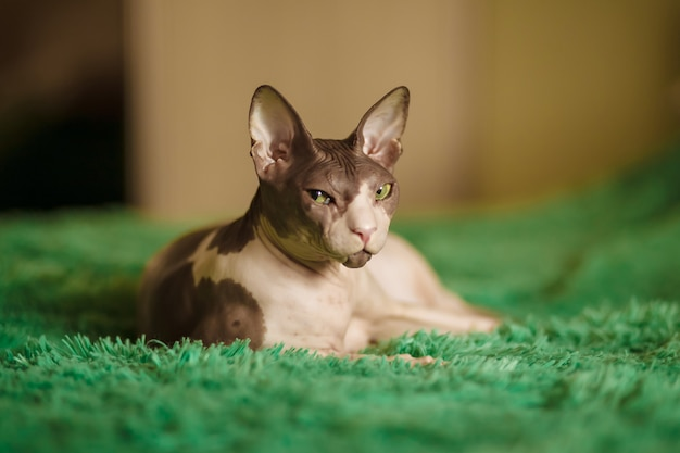 Egyptian cat sitting in a room on the bed