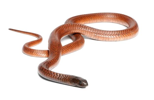 Египетская кобра - naja haje, ядовитая, на белом фоне