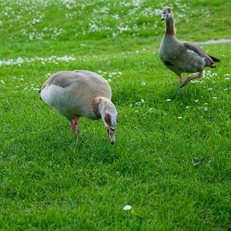 Egyptian geese (alopochen aegyptiacus) wandering through the grass