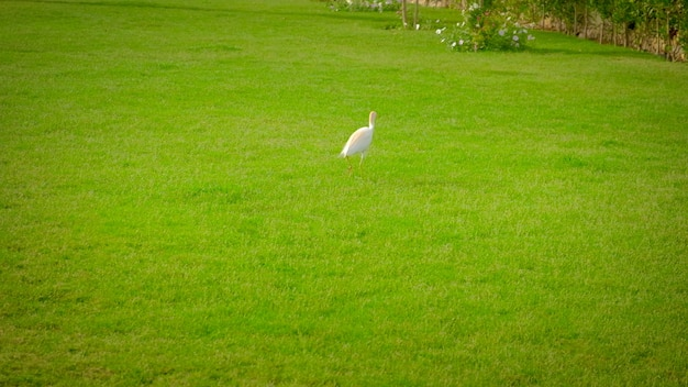 草の上を歩くエジプトのサギ