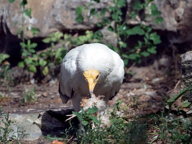 Египетский гриф neophron percnopterus ест дичь