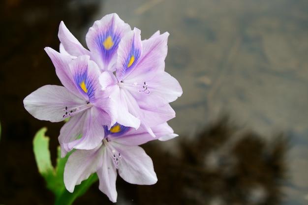 Eichhornia crassipesの紫色の花