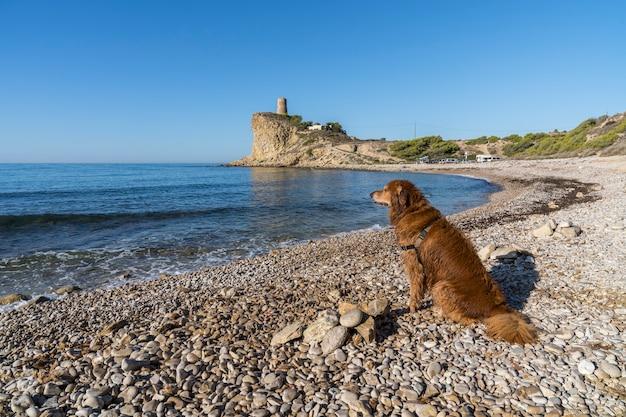 골든 리트리버, 알리 칸테, 스페인과 villajoyosa의 el xarco 개 해변.