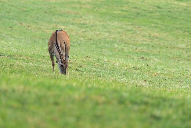Eland grazing in the grass