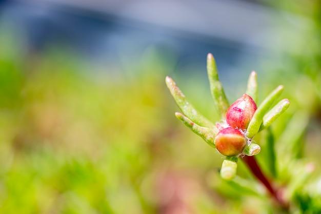 Elatine alsinastrum является представителем рода elatine в семействе растений elatinaceae, в семействе waterwort.
