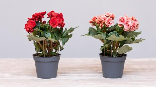 냄비에 elatior 베고니아 꽃