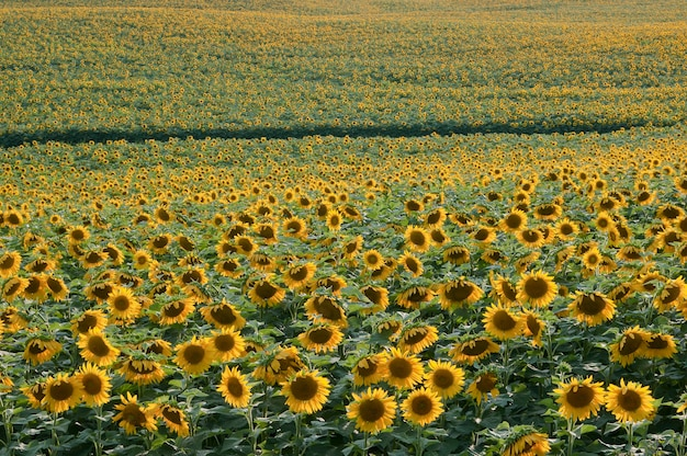 ミネソタ州エルボーレイク。夕方の光の中でひまわり畑の美しい景色