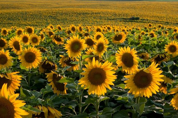 ミネソタ州エルボーレイク。夕方の光の中でひまわり畑のクローズアップビュー。
