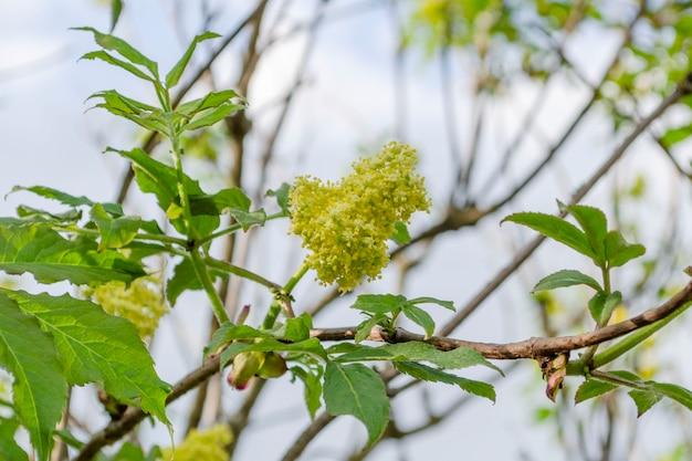 ニワトコの花、クローズアップ。ニワトコの花、屋外の自然の背景。
