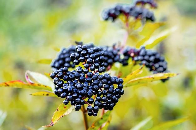 Elderberry bush with black ripe berries in autumn