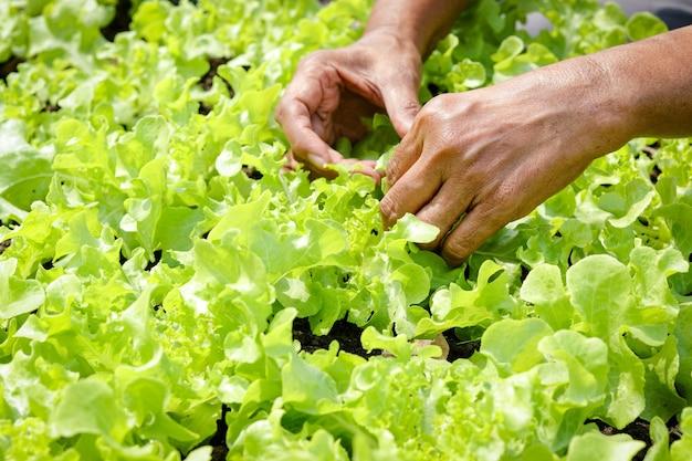 高齢農家の手は、地面のプロットで緑の有機サラダ野菜を保持します
