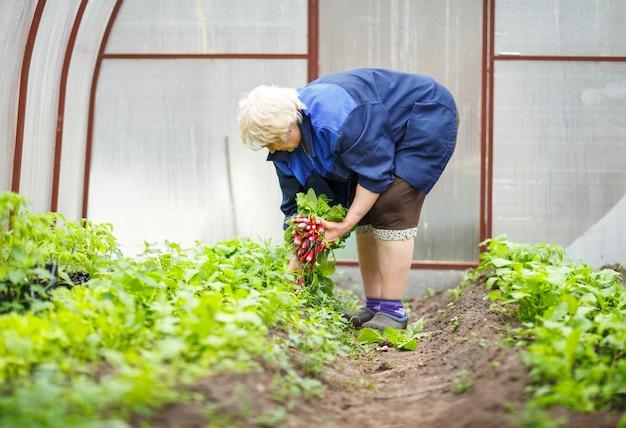 무의 신선한 작물을 들고 노인 여성 농부