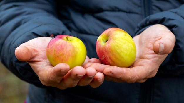 熟したおいしいリンゴを持つ年配の女性、リンゴの収穫