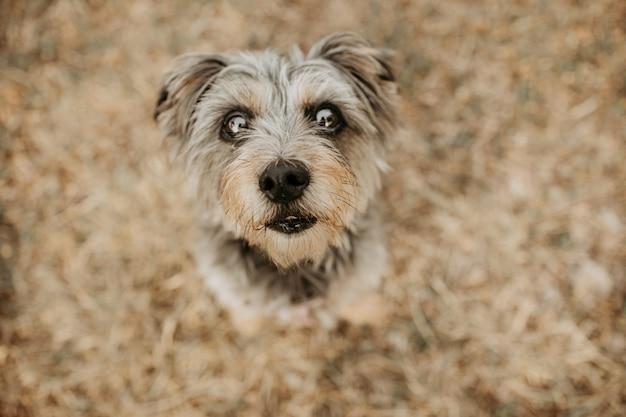 Пожилая собака йоркшира, глядя на зеленой траве. вид под большим углом