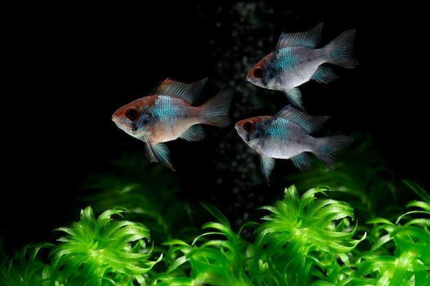 暗い背景で泳ぐ電気ブルーラミレジの魚