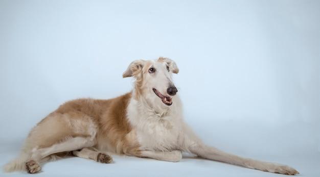 Elegant borzoi breed dog lying on the ground