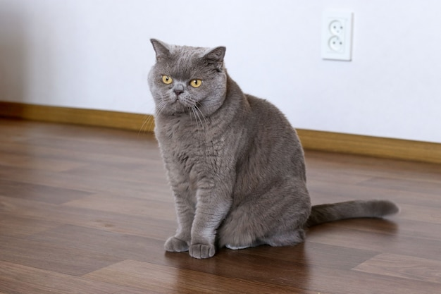 Elegant british shorthair cat sitting on the floor
