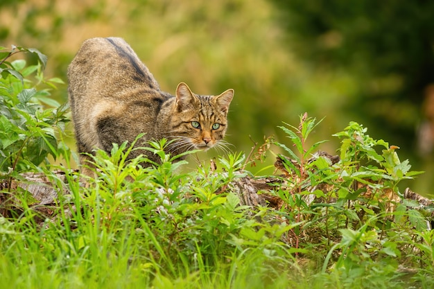 녹색 식물에 숨겨진 여름에 우아한 유럽 살 cat이, felis silvestris, 사냥. 호기심 많은 포유류 사냥꾼이 강렬하게보고 있습니다. 동물의 왕국에서 추구의 개념